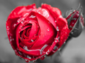 情人节玫瑰花涨势汹涌:进口货现天价 国产货输在品质