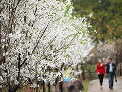 """观澜湖""""樱花季""""来临!3月""""女神节""""推出多重福利"""
