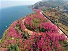 第二届云南抚仙湖樱花节17日启幕 500亩樱花竞相绽放